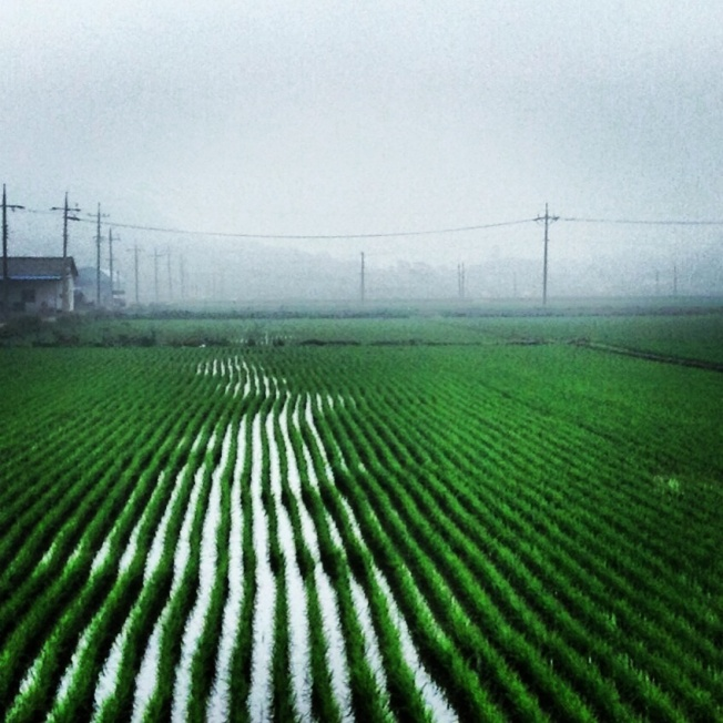 Rice fields. So peaceful.