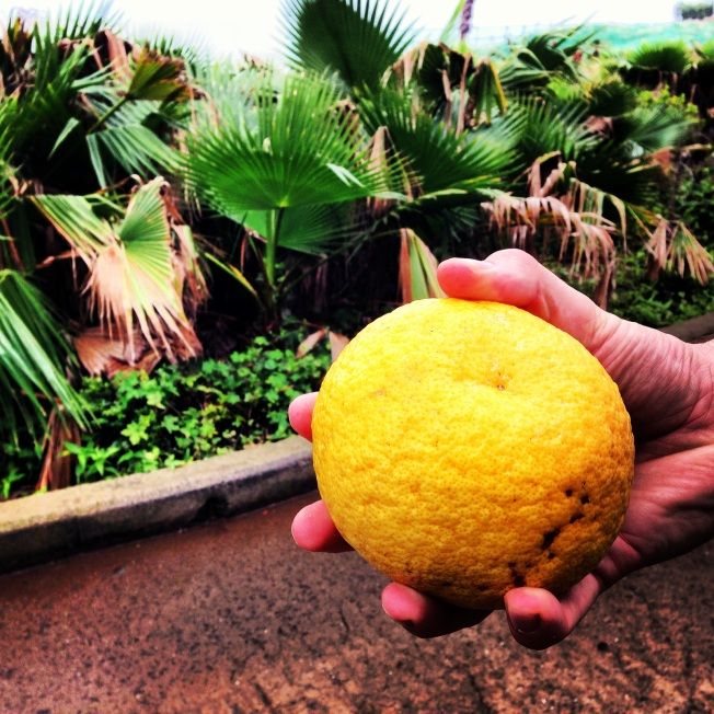 Fresh fruit right off the tree in Jeju. Tasted like a cross between and orange and a grapefruit.
