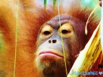 Sepilok Orangutan Sanctuary-Malaysia