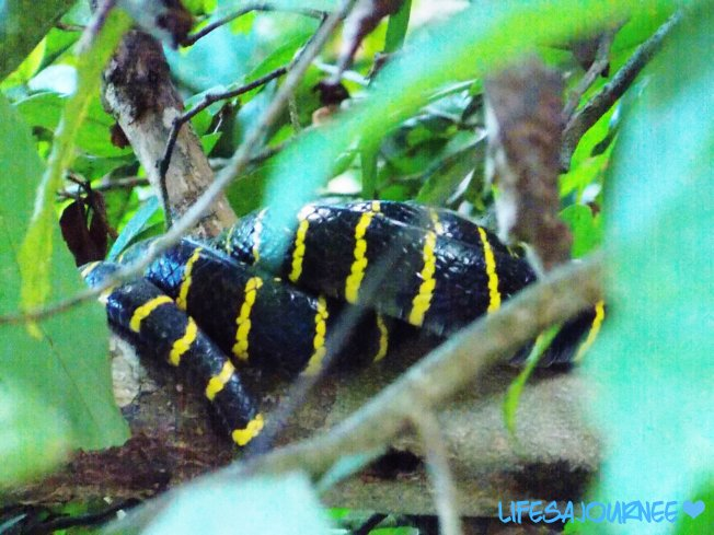 Yellow ring mangrove snake