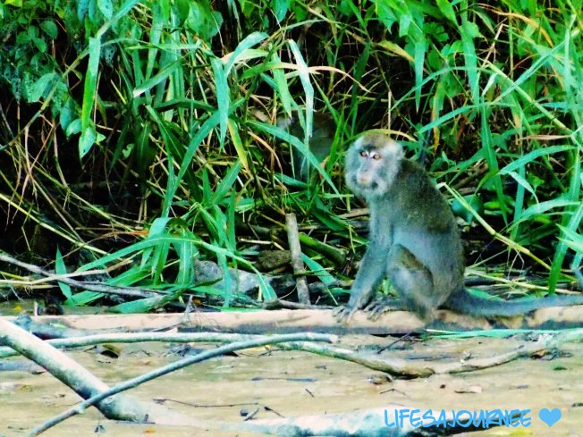 Macaque Moneky- saw tons of these guys!