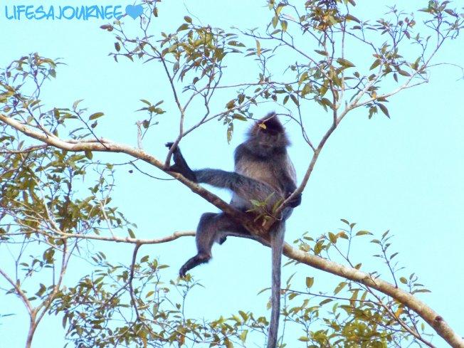 Silver leaf monkey :)