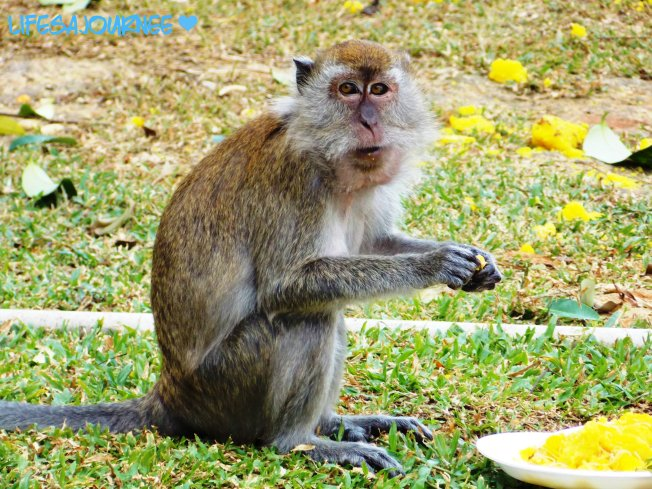 The crazy demon monkeys around the Batu Caves. Stealing people's food and drinks. Not going to lie I was scared of them not like the monkeys we seen in the wild. The may look cute...don't let them fool you.
